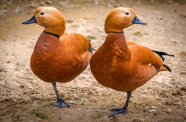 Dos patos naranjas aparentemente iguales, del mismo modo que un MBA oficial parece igual que un MBA propio